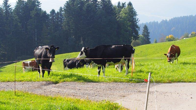 Signau região do Emmental Suíça - Vacas